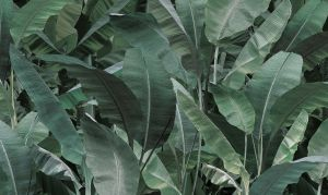 Banana Leaf  23ott 01